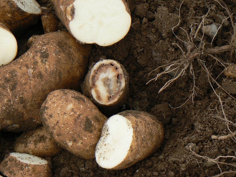 Bacterial Ring Rot in potato tuber