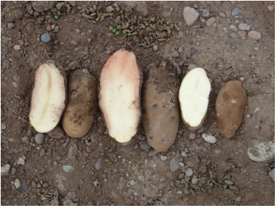 Pink rot expressing in cut potato tubers