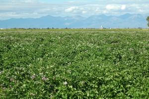 Potato Seedling Field Looking Northeast