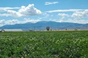 Potato Seedling Field Looking Southwest