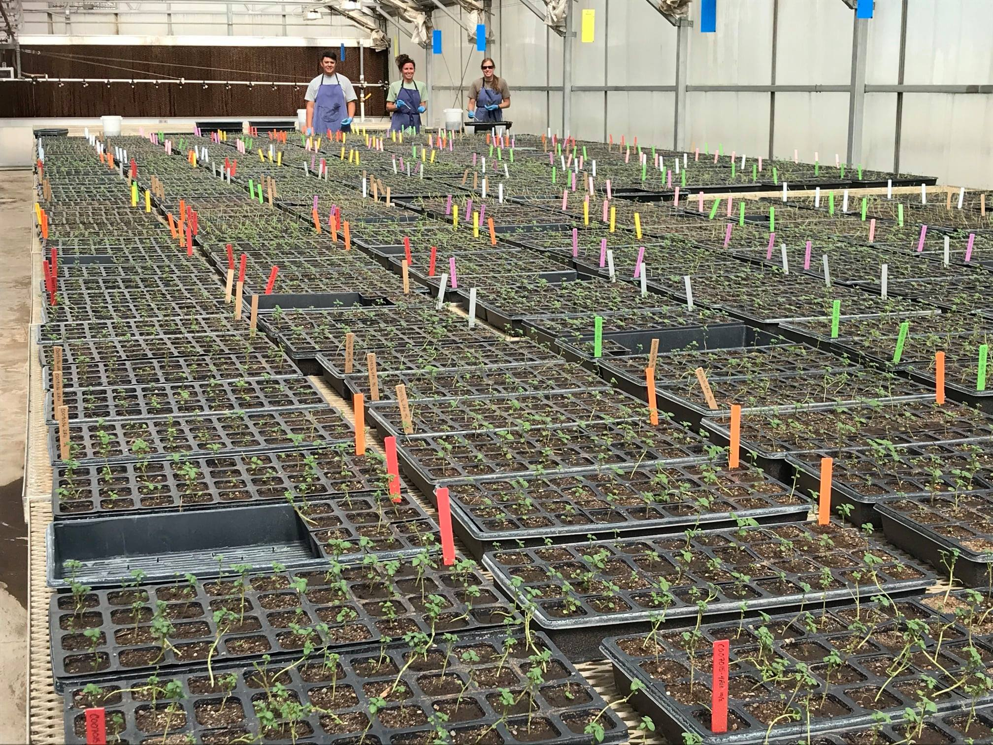 Potato Breeding and Selection Greenhouse Planting Nuclear